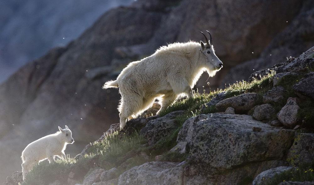 mountevansbyway_goats_MI