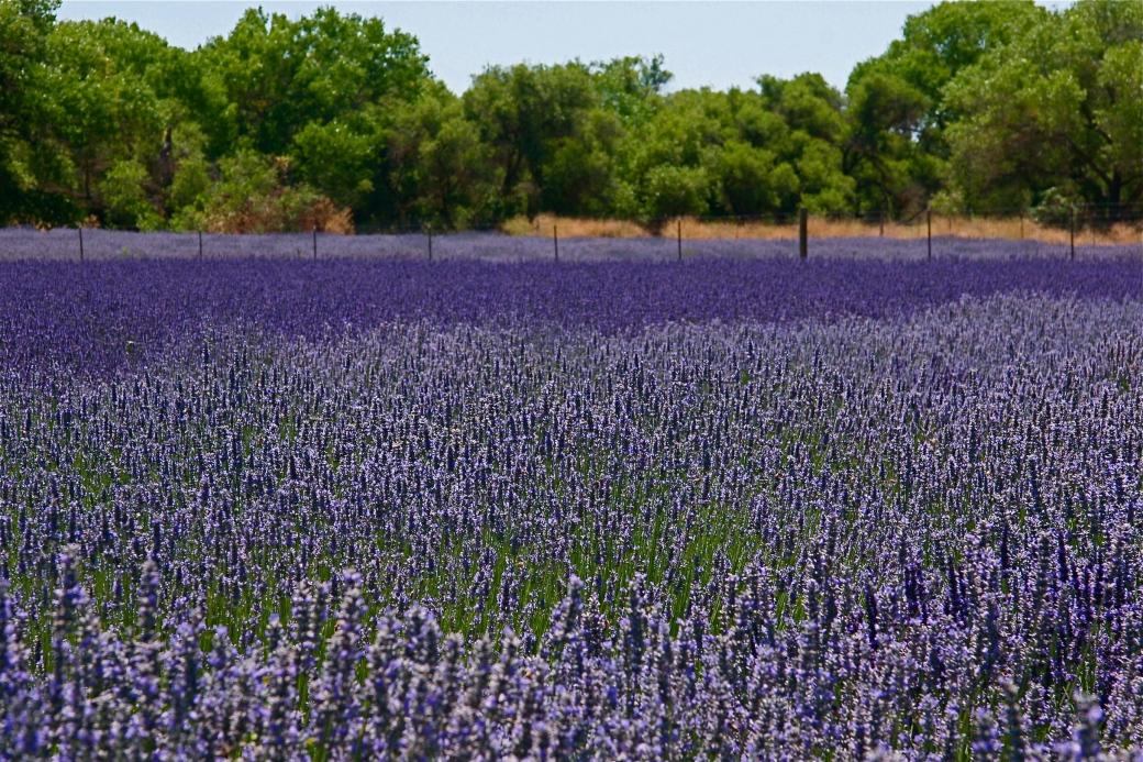 Lavender Ojai