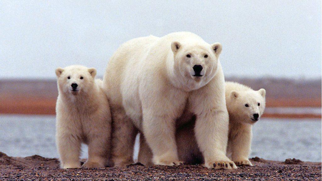 polar-bear-mother-cubs-1024x576