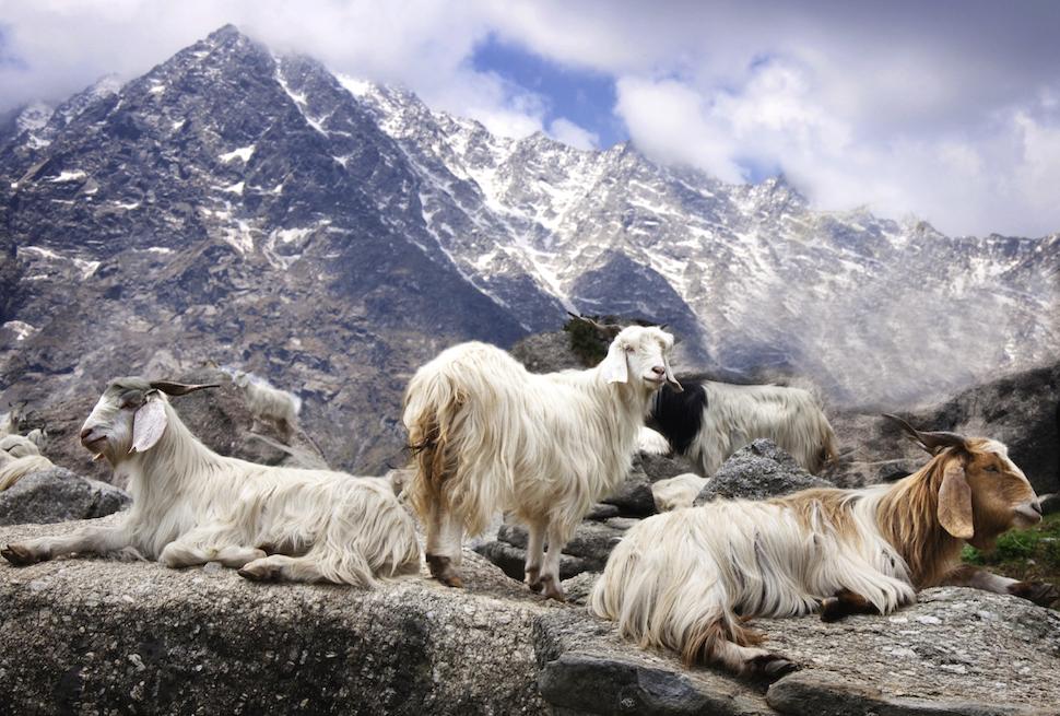 Cashmere-goats-gobi-mountains-1