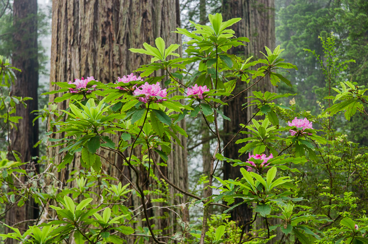 del-norte-redwoods-sm15-7